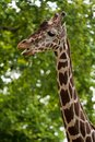 Reticulated giraffe portrait Stock Photography