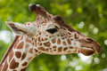 Reticulated giraffe portrait Royalty Free Stock Photo