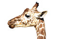 Reticulated giraffe in profile - isolated Royalty Free Stock Photo