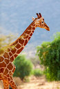 Reticulated giraffe Royalty Free Stock Photo