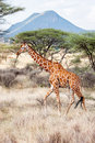 Reticulated giraffe walking in the savannah samburu kenya scientific name giraffa camelopardalis reticulata Royalty Free Stock Photography