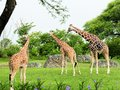 Reticulated giraffes south florida zoo Royalty Free Stock Image