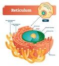 Reticulum labeled vector illustration scheme. Anatomical diagram with endoplasmic reticulum, cisternae, nucleus and ribosomes.