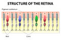 Retina structure eye and vision of the rods and cones vector diagram Royalty Free Stock Images