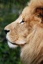 Retrato del león en perfil Imagen de archivo libre de regalías