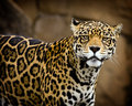 Retrato do jaguar Fotografia de Stock Royalty Free