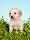 Retriever dog on grass Stock Photo