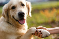 Retriever giving paw to person