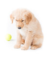 Retriever puppy looking down a cute month old golden is sitting and almost sad with a green tennis ball in the backgrund on white Royalty Free Stock Images