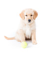 Retriever puppy sitting a cute month old golden sits at attention with a green tennis ball in front of her Stock Photography