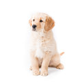 Retriever puppy sitting looking left a cute month old golden looks camera very aware on white Royalty Free Stock Photography