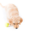 Retriever puppy sniffing a cute month old golden sniffs the ground with a tennis ball Stock Image