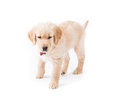 Retriever puppy standing a cute month old golden walks towards the camers looking down red bone collar around her neck Royalty Free Stock Photo