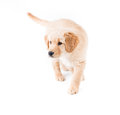 Retriever puppy walking toward a cute month old golden walks camera left with eagerness and attention Stock Images