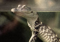 Retro Baby Alligator Royalty Free Stock Photo