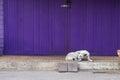 retro folding purple door with sleepy dog in vintage style