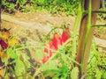 Retro look tomato plant vintage looking aka solanum lycopersicum Royalty Free Stock Images
