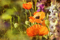 Retro poppies and larkspur blooming in a garden Stock Photography