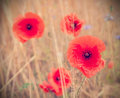 Retro style picture of poppy flowers, shallow depth of field Royalty Free Stock Photo
