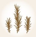 Retro stylized rosemary stub isolated on white Stock Image