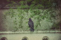 Retro wild black raven big resting in the park vintage background Stock Photos