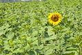 The revealed sunflower Stock Image