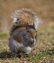 Reverant squirrel tree that almost looks like it is praying Royalty Free Stock Photos