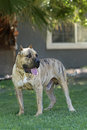 Reverse brindle perro de presa canario full length portrait of a male rindle Stock Photo