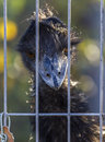 Rhea with intensely blue beak looks behind iron bars ominously from Royalty Free Stock Photos
