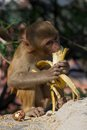 Rhesus macaque eating a banana on wall Stock Photos