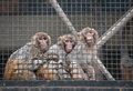 Rhesus macaque macaca mulatta commonly known as or money Stock Photo