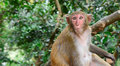 Rhesus macaque monkey in China Royalty Free Stock Photo