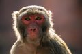 The rhesus macaque monkey macaca mulatta Royalty Free Stock Photos