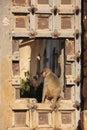 Rhesus macaque sitting on gate of taragarh fort bundi india macaca mulatta rajasthan Stock Photos
