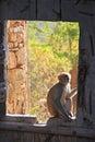 Rhesus macaque sitting on gate of taragarh fort bundi india macaca mulatta rajasthan Royalty Free Stock Image