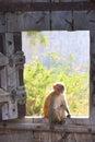 Rhesus macaque sitting on gate of taragarh fort bundi india macaca mulatta rajasthan Stock Photography