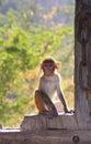 Rhesus macaque sitting on gate of taragarh fort bundi india macaca mulatta rajasthan Stock Images