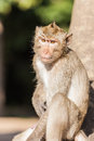 A rhesus monkey Royalty Free Stock Photo