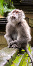 Rhesus monkey in ubud bali looking up s forest sanctuary indonesia Stock Photos