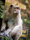 Rhesus monkey in ubud bali wild s forest sanctuary indonesia Stock Photography