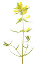 Rhinanthus rattle flower isolated on white background Royalty Free Stock Photo