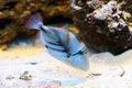 Rhinecanthus aculeatus. Aquarian fish