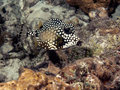 Rhinesomus triqueter the smooth trunkfish is a species of boxfish found on and near reefs in caribbean sea Stock Photos