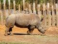 Rhino Royalty Free Stock Images
