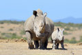 Rhino african white national park of kenya Royalty Free Stock Photo