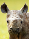 Rhino baby young horn muzzle face head africa botswana grass Stock Image