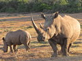 Rhino and calf capture in south africa Stock Photos