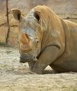A Rhino in Closeup, Tampa Florida Royalty Free Stock Photo