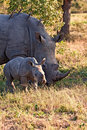 Rhino cow and calf in nature Royalty Free Stock Photo