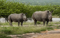 Rhino family big and its cub in south africa reserve of mala mala Royalty Free Stock Photography
